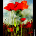 Provence - Camargue, coquelicots 002