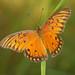 Brushy Creek:  Round Rock, TX- Gulf Fliterary Butterfly
