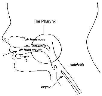 diagram of pharynx 3 idiot flickr Human Throat Diagram diagram of pharynx by 3 idiot