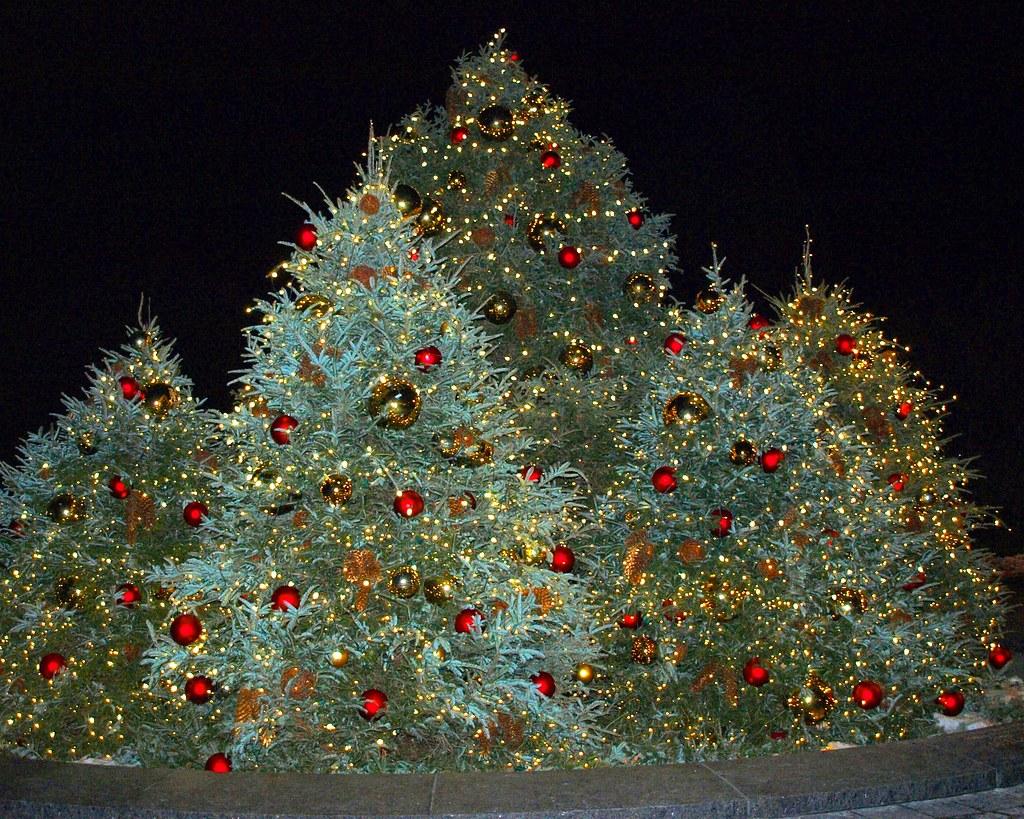 Christmas Trees New York Botanical Garden Nybg Reflecting Flickr