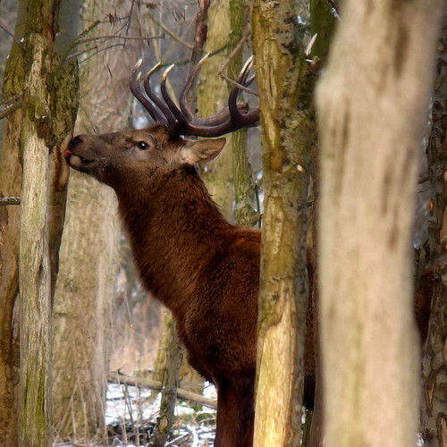 Red Deer eats fibres during harsh winter | by B℮n