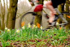 Cycle through the daffodils - Amsterdam | by rigilbert
