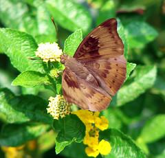 012. COMMON Baron Butterfly In My Butterfly Garden