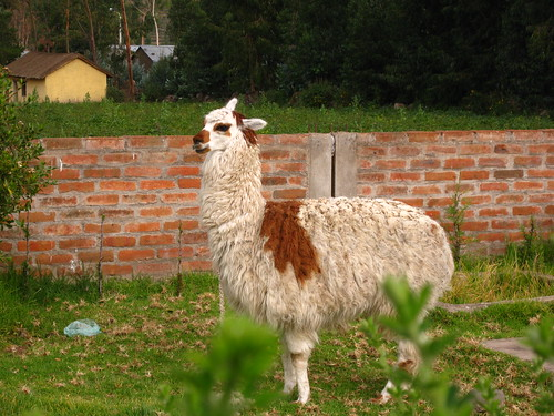 Alpaca | by MrHicks46