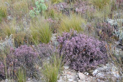 Fynbos (Ericaceae)