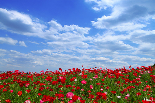 poppy and blue sky | by * Yumi *