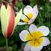 tulips clusiana and lic wonder