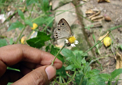 011. Common Four Ring butterfly in my butterfly Garden1.jpg