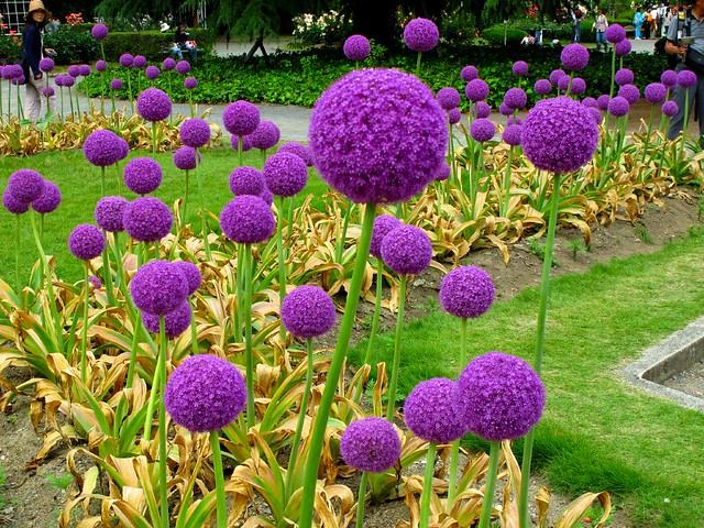 purple spheres allium giganteum flickr photo sharing. Black Bedroom Furniture Sets. Home Design Ideas