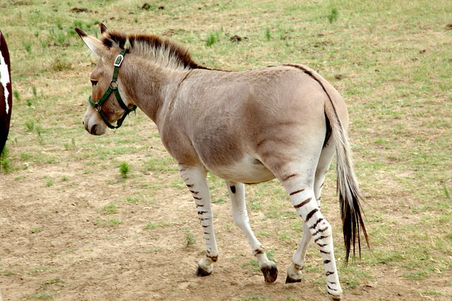 Zedonk... half donkey half zebra :) | Flickr - Photo Sharing!