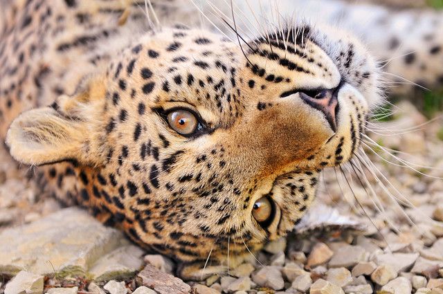 Female leopard rolling