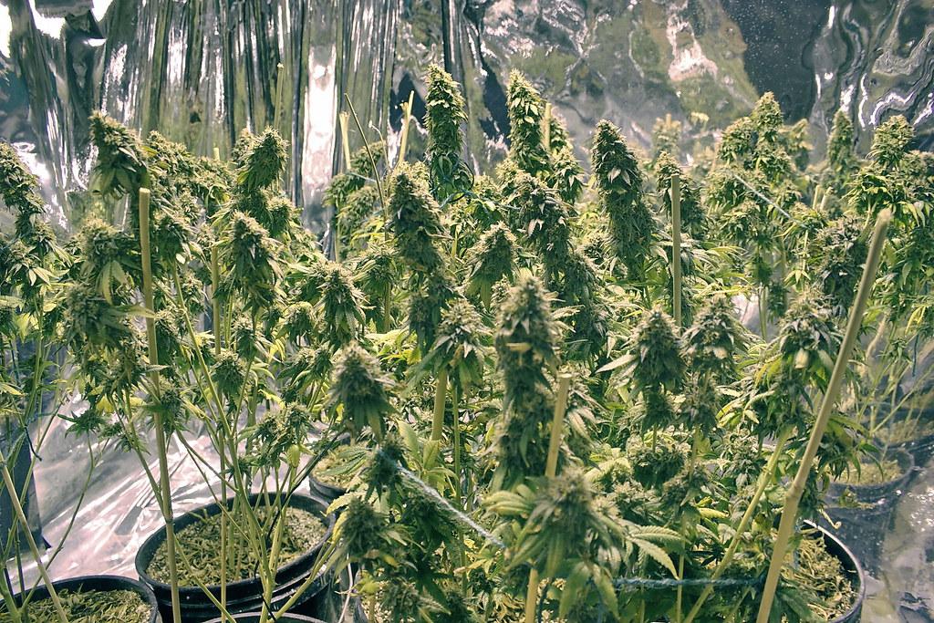 Lemon Kush Day 105 Flower 77 Grow Log Lemon Kush 10 29