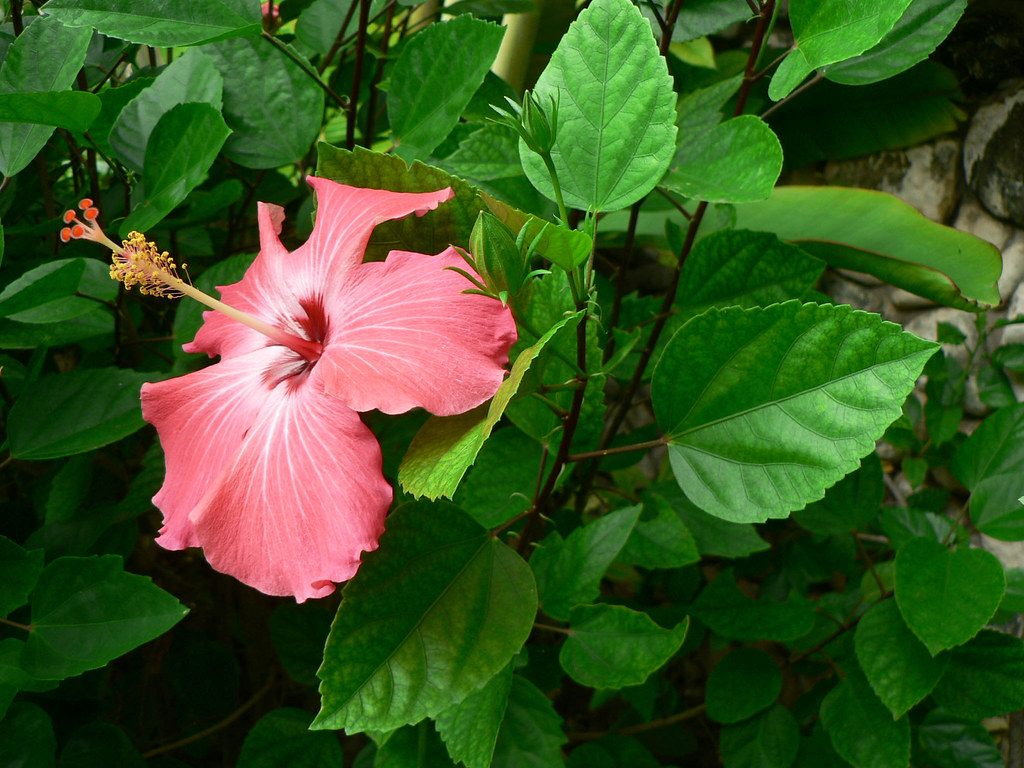 Jamaican vegetation hibiscus lovely flower grown with t flickr jamaican vegetation hibiscus by dlberek izmirmasajfo