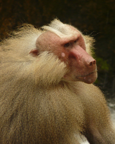 Hamadryas Baboon | by Richard Tulloch