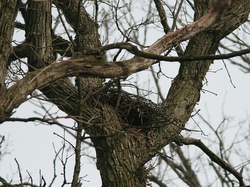 Coopers Hawk Nest 20100319 | by Kenneth Cole Schneider