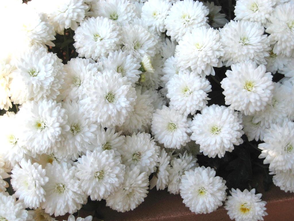 White Mum Flowers Close Up Cpopenoe Flickr