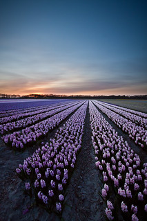 Evening glory (hyacinth fields Netherlands) | by Bas Lammers