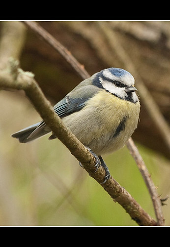 bluetit | by carolejeffery