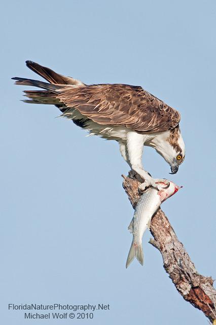 Osprey with mullet 2432 osprey eating fish mullet on for Eating mullet fish