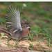 Série com o Tico-tico-rei, Tico-Tico-rei vermelho (Coryphospingus cucullatus) - Series with the Red-crested Finch - 16-05-2010 - IMG_7980