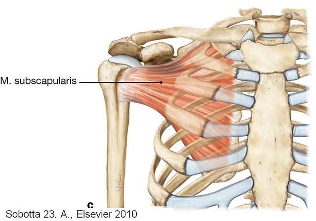 Muskeln der Schulter (M_subscapularis) | Sobotta Atlas der Anatomie ...