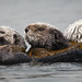 (5 of 5) California Sea Otter (Enhydra lutris) resting in a colony of a dozen sea otters and wrapped in kelp