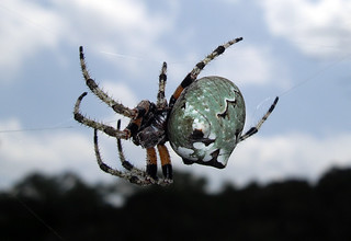 Giant Lichen Orbweaver ♀  - Araneus bicentenarius 2 | by The Macro Spider-Man