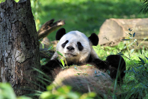 Panda_3956 | by Ken_from_MD