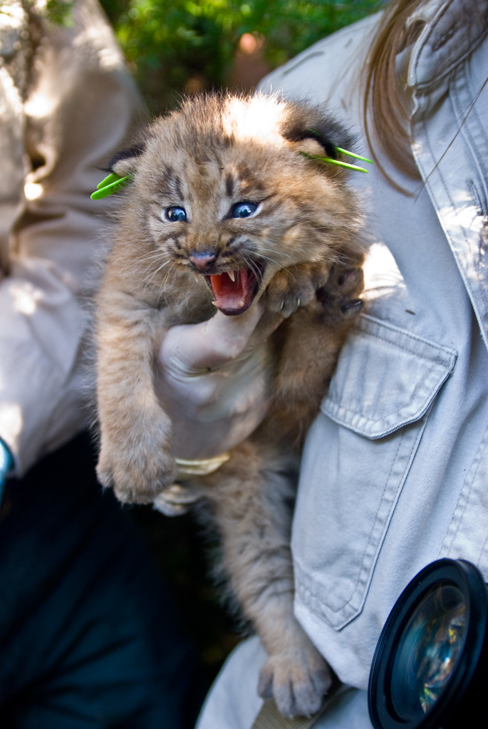 Canada Lynx Kitten, not your average kitten | While their lo… | Flickr