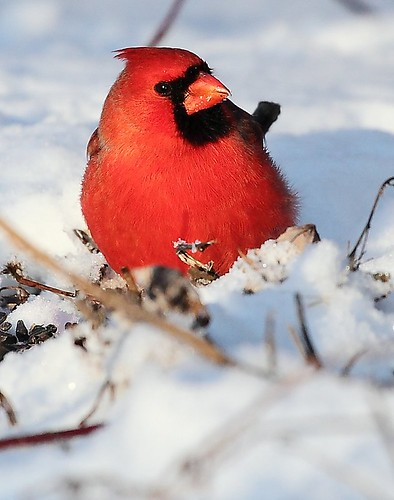 A vigilant Cardinal | by Don Ma
