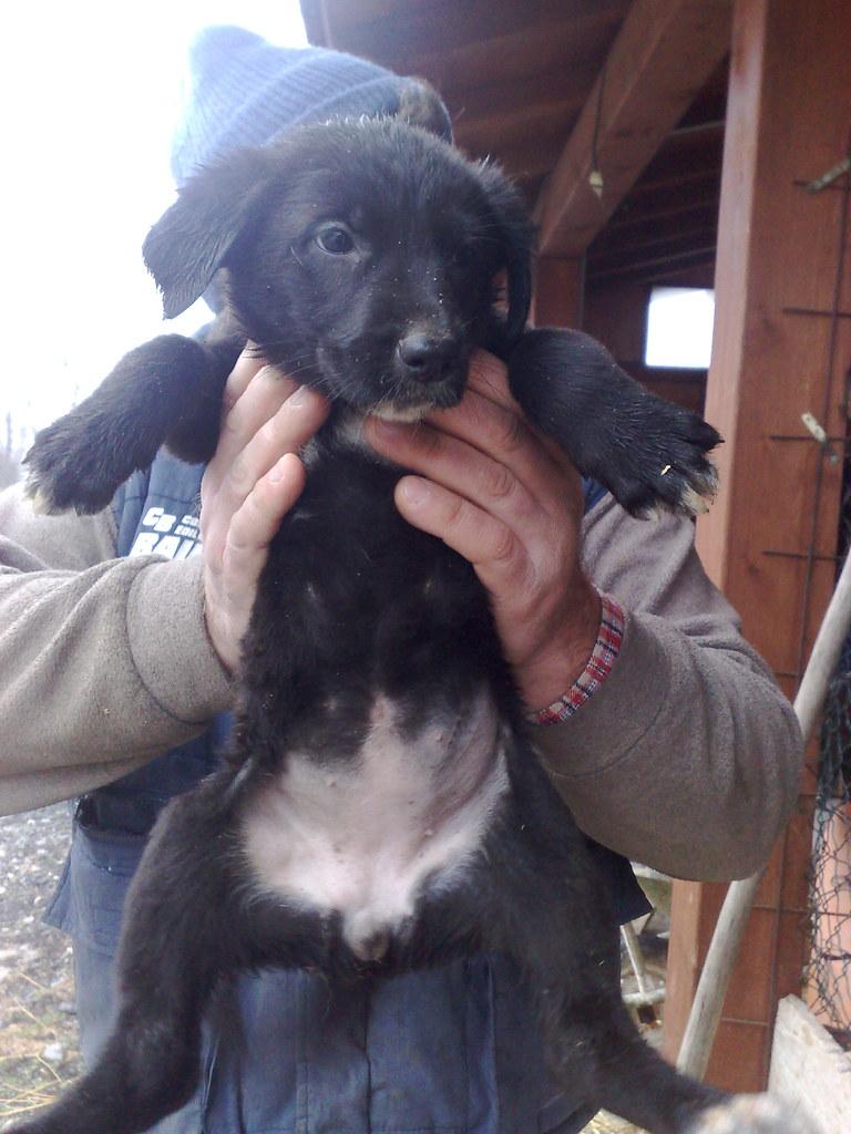 Foto adozione cucciolo di cane lupo, pelo raso nero,