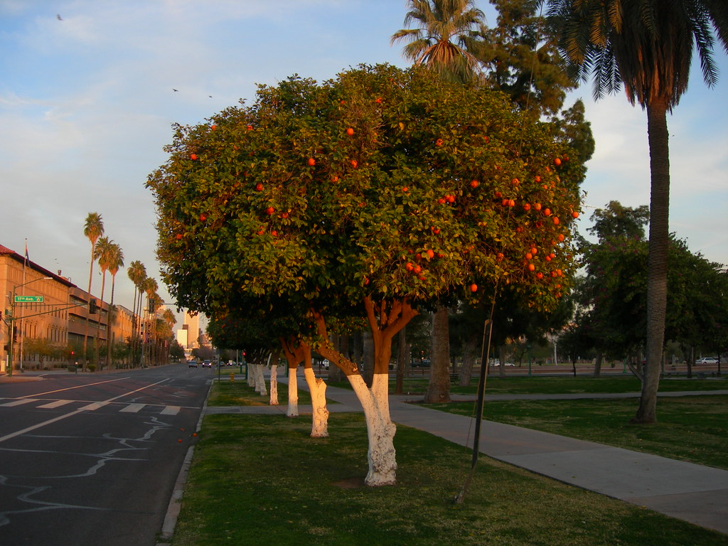 Phoenix Orange Trees Located On The Grounds Of The