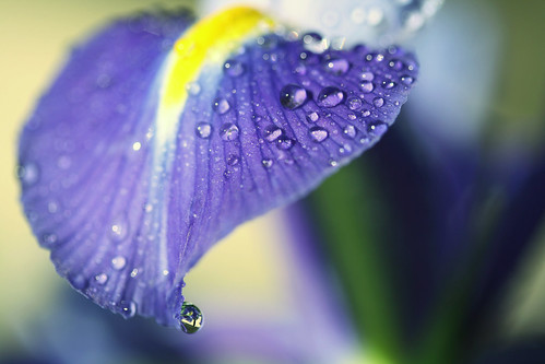 iris droppie | by coral staley-hall