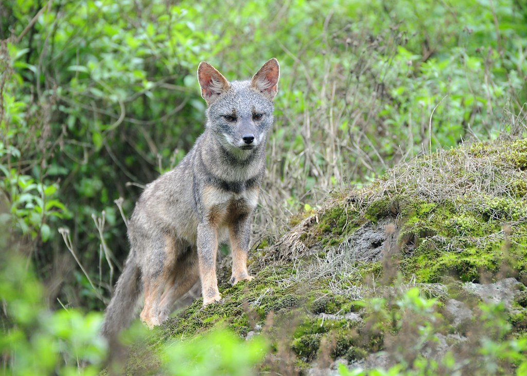 Sechuran Fox (Lycalopex sechurae), Lomas de Lachey, Peru