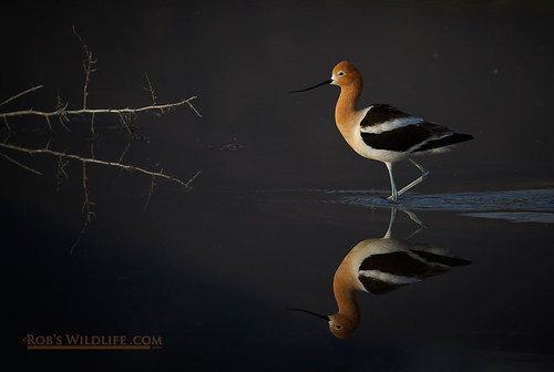 Avocet Mirror-4740-W | by RobsWildlife.com © TheVestGuy.com