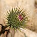 Desert Thistle (Cirsium neomexicanum) ~ Joshua Tree