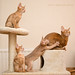Abyssinian composition