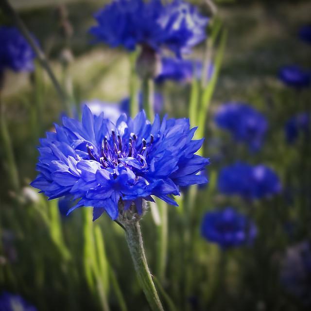 Blue Wildflower 8025 Flickr Photo Sharing