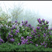 May 18, 2010-Lilacs in the Fog