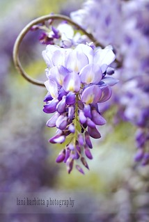 wisteria | by Lani Barbitta