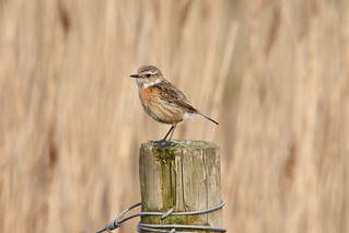 Stonechat | by Andy_Hartley