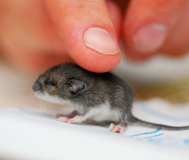 baby mouse | Flickr - Photo Sharing!