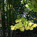 Early autumn leaves acer shirasawanum 'Aureum' - Golden leaf Full Moon Japanese Maple.
