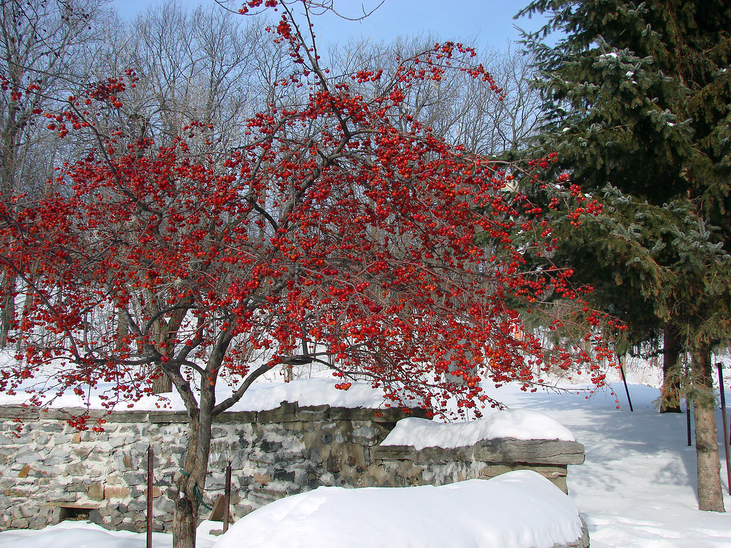 Red Berry Tree in Winter | Happy New Year ! | lilikx | Flickr