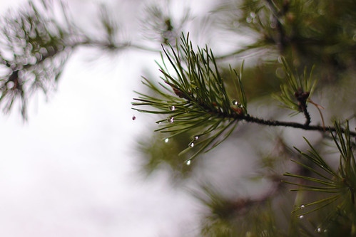 Raindrops on Pine Needles | by Emily Carlin
