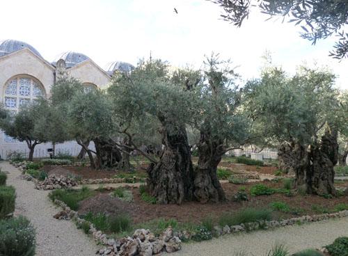 Garden Of Gethsemane The Bible Says Jesus Was Arrested In Flickr