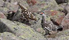 A pair of Ptarmigan, Lagopus mutus, on the Broad Cairn to Cairn Bannoch walk | by Shandchem