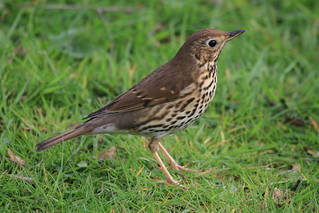 Song Thrush | by Chris*Bolton