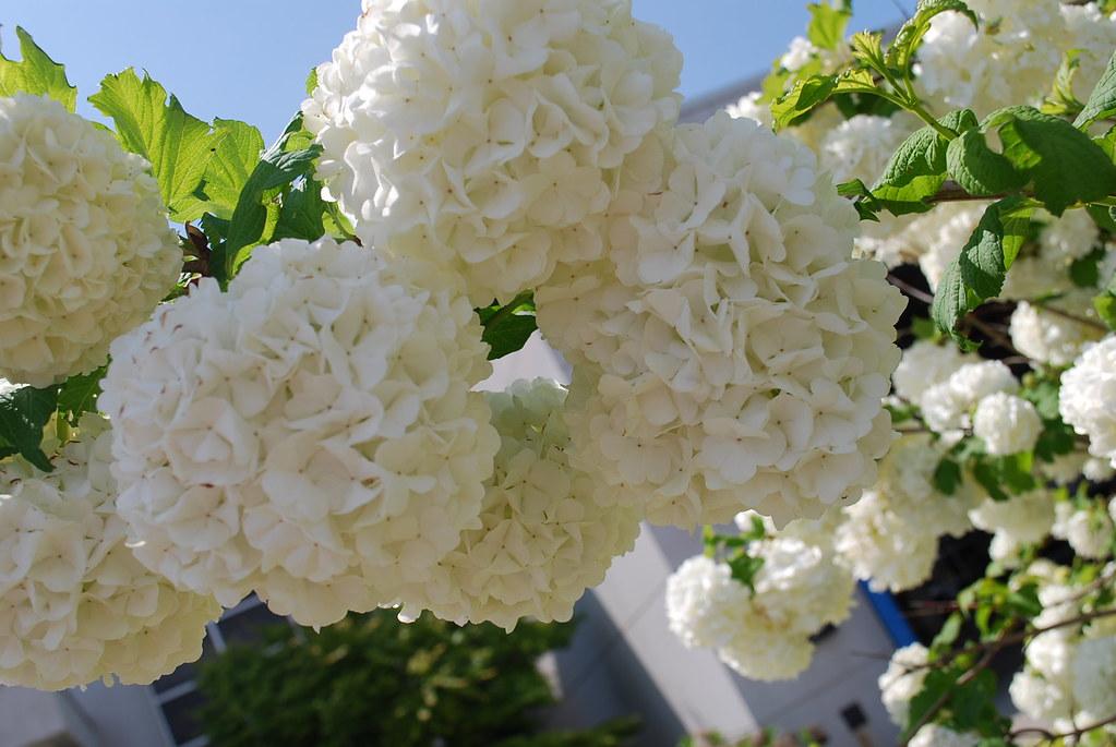 Puffy white flowers sandee darcey nunes flickr puffy white flowers by goddessaine puffy white flowers by goddessaine mightylinksfo