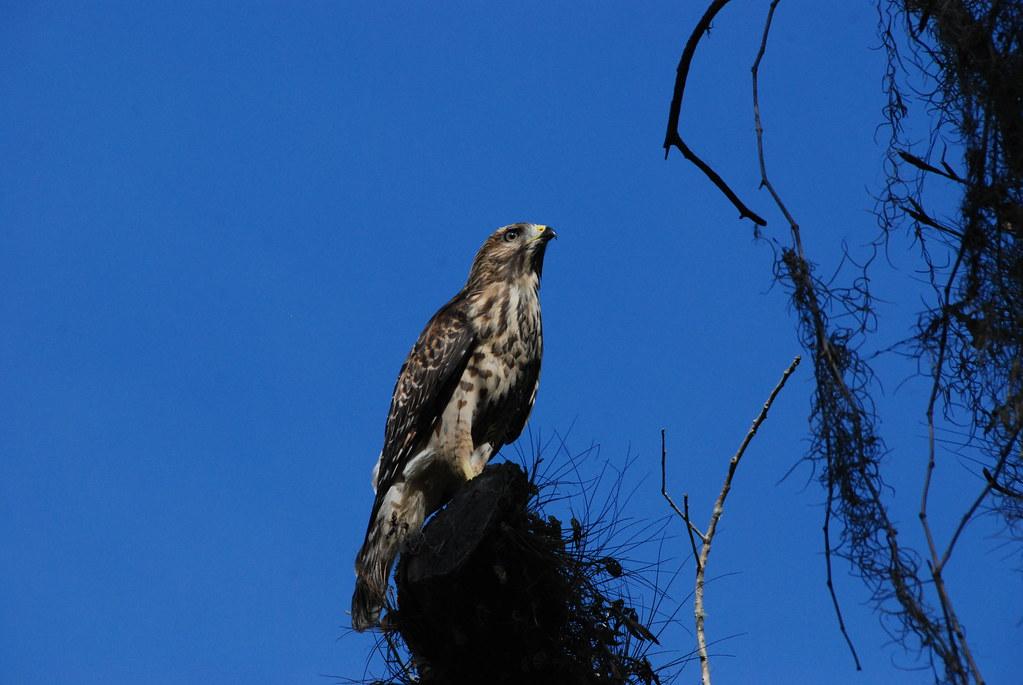 Red shoulder hawk red shoulder hawk at florida panther for Fish hawk fl